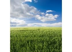 蓝天白云下的麦田美景图片
