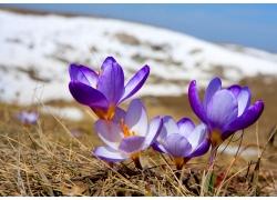 春天雪地上的花朵图片