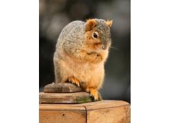 可爱的小松鼠摄影