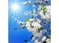 阳光照射的梨花摄影图片