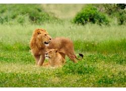 草原上的狮子摄影