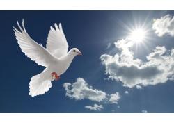 天空中飞翔的鸽子高清图片