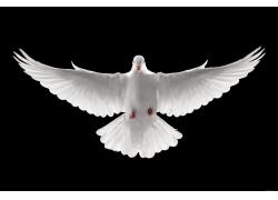 展开翅膀的鸽子高清图片