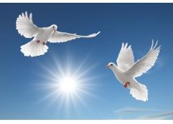蓝天中飞翔的鸽子高清图片