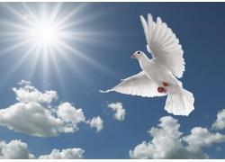 展翅飞翔的鸽子高清图片