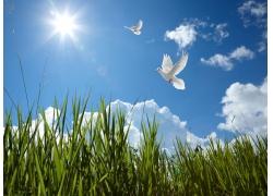 蓝天上的白鸽摄影图片