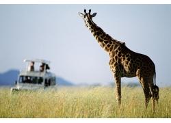 非洲野生动物长颈鹿