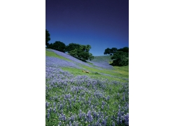 漫山遍野的紫色花风景图片
