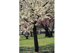 樱花图片高清素材