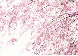 春天樱花实用背景素材图片