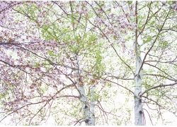 樱花风景摄影