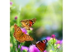 蝴蝶特写摄影图片