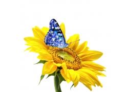 蝴蝶与太阳花特写高清图片