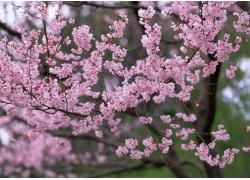 春天桃花盛开