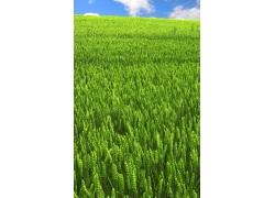 蓝天白云下的麦地