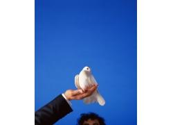 捧在手中鸽子