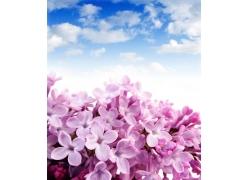 蓝天下的丁香花