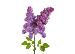 紫色丁香花