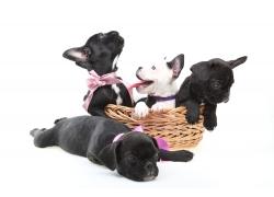 五只法国斗牛犬