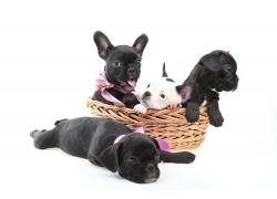 法国斗牛犬摄影图