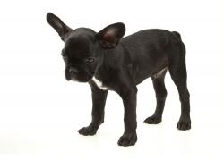 黑色法国斗牛犬