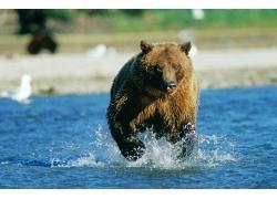 水中奔跑的熊