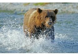 水中奔跑的棕熊