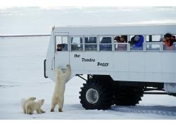 雪地上的北极熊与摄影游客