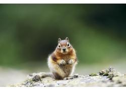 可爱小松鼠