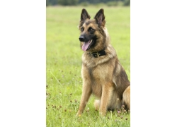 坐在草坪上的警犬