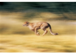 奔跑的猎豹