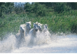 在水里奔跑的马