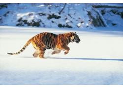 正在奔跑的老虎