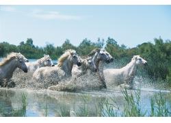 在水里奔跑的马群