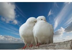 两只白色鸽子