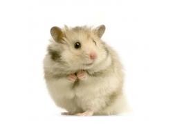 可爱小仓鼠