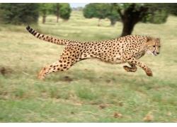 奔跑中的豹子摄影