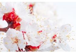 高清樱花素材