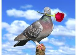 叼着玫瑰花的鸽子