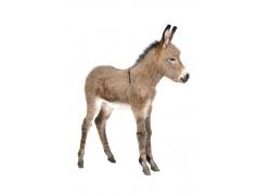 高清驴子摄影