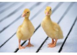 可爱的小鸭子