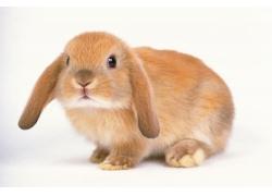 可爱的长耳兔