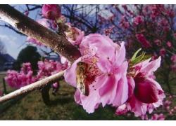 桃花上采蜜的蜜蜂