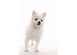 可爱的白色宠物