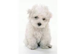 白色卷毛犬摄影