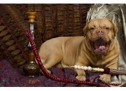 宠物狗与水烟壶
