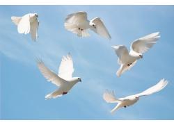 白色鸽子摄影