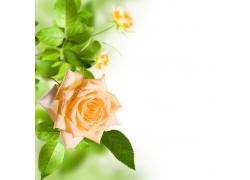 黄色月季花朵背景