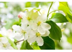 美丽樱桃花