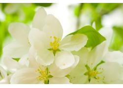 春天的樱桃花